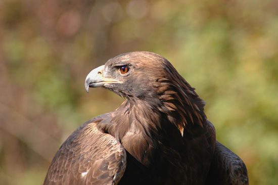Golden Eagle 081