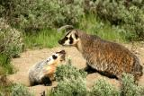 Badger with baby