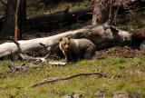 Griz cub
