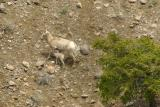 Bighorn sheep with baby
