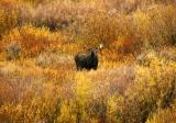 Bull Moose - Willow Flats