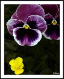 ds20050529_0014a1wF Pansy.jpg