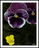 ds20050529_0014a4wF Pansy.jpg