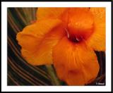 6/13/05 - Orange Tearsds20050513_0099awF.jpg