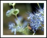 9/19/05 - Fall Pollinationds20050918_0060awF bee.jpg