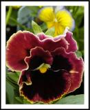 ds20050924_0015a1wF Pansy.jpg