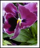 ds20050924_0030a1wF Pansy.jpg