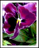ds20050924_0030a2wF Pansy.jpg