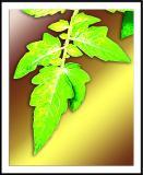 ds20050918_0096awF tomato leaf.jpg