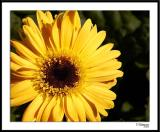 10/2/05 - Floral Sunburstds20051002_0010a1wF Daisy.jpg