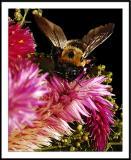 10/4/05 - Bzzzds20051002_0339awF Bee.jpg