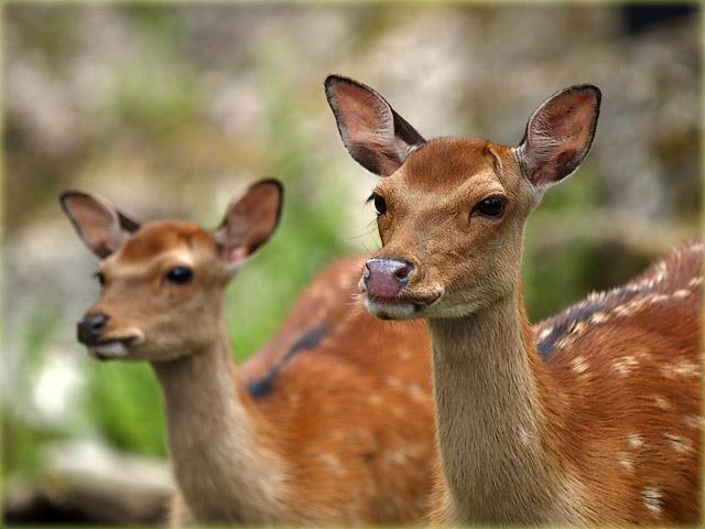 fallow deer / Damhirsche (Dama)