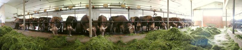 swiss cowhouse / Kuhstall