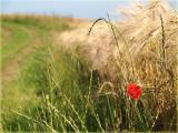 Klatschmohn/corn poppy (Papaver rhoeas)