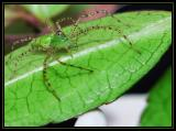 Small Green Lynx Spider