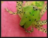 Green Lynx Spider Face