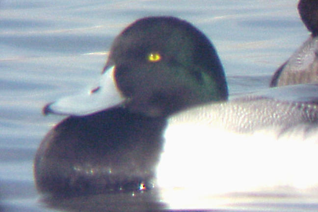 Greater Scaup - 2-6-05 adult male