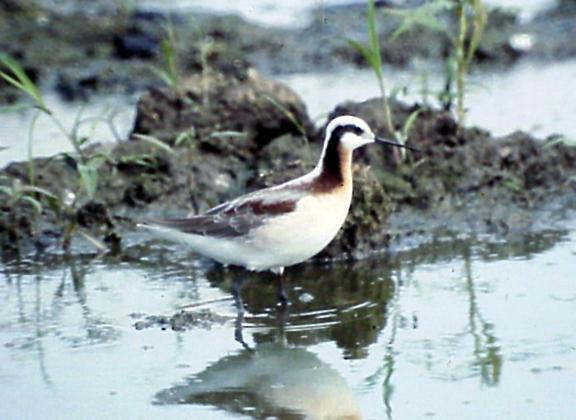 Wilsons Phalarope - female breeding plumage