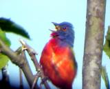 Painted Bunting - singing