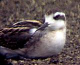 Red-necked Phalarope - imm. back and neck color