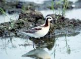 The Spin on Phalaropes in West Tennessee