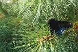 red-spotted purple in a pine