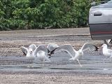 sea gull ballet