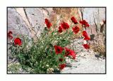 Lesbos - flora - DSCN5080.jpg
