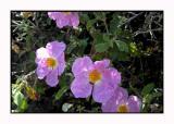 Lesbos - flora - DSCN5210.jpg