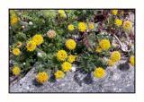 Lesbos - flora - DSCN5499.jpg