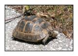 Lesbos - schildpad - DSCN5747.jpg