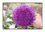 Lesbos - flora heuvels van Efthalou - DSCN6402.jpg