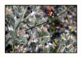 Lesbos - kolibrivlinder - DSCN6329.jpg