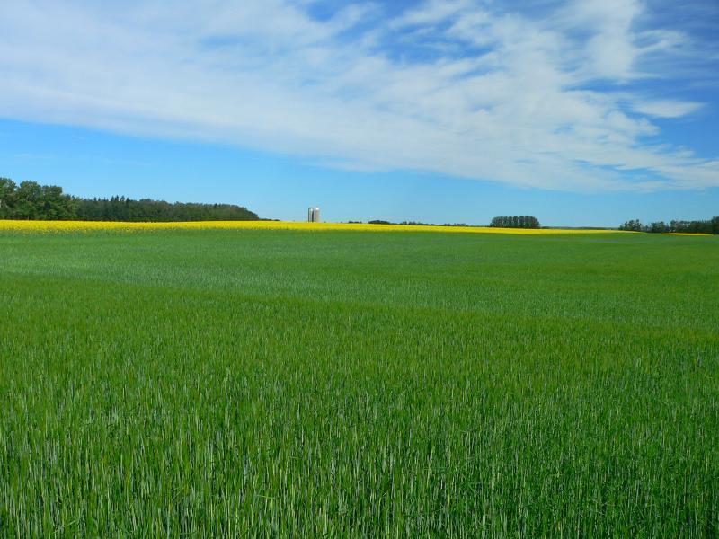 Barley and Canola