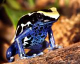 Poison Frogs and Friends