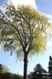 Grey Poplar  -  Worlds Tallest