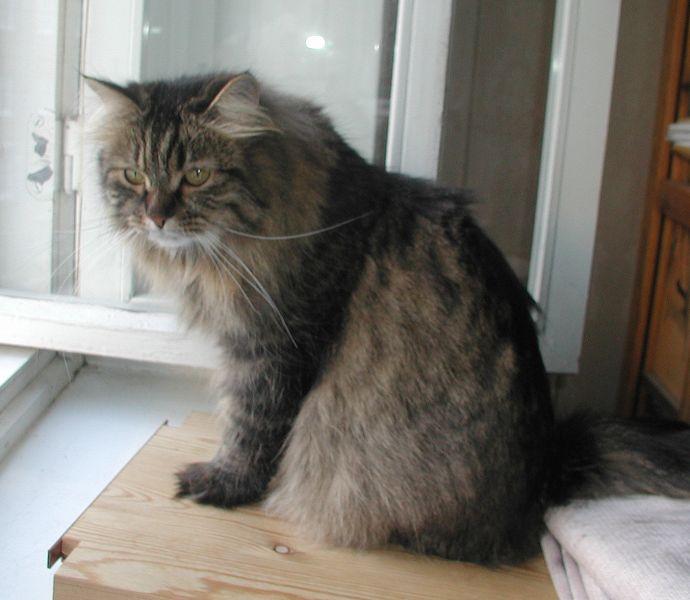 Tassya is now  a grown up Siberian lady.