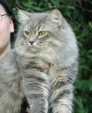 Siberian Cat Amante's Et cetera aka NEDI - blue mackerel tabby male,  born May 17, 2004.  Pictures in September 2005.