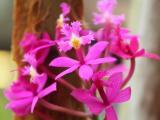 Orchid (Ephidendrum)