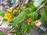 Jackson Chameleon, female
