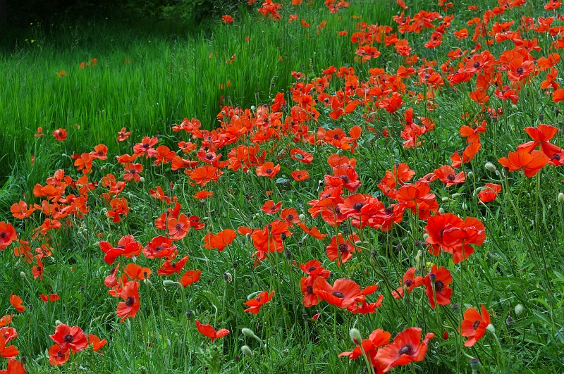 Field of poppies.jpg