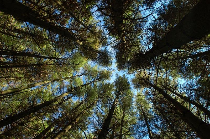 Pine tree canopy.jpg
