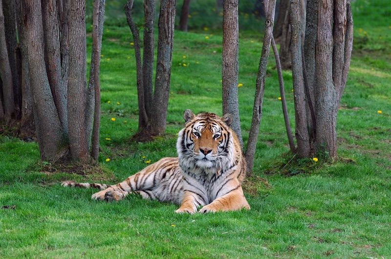 Tiger lying in forest.jpg