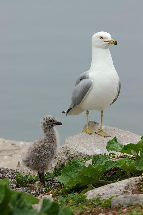 Seagull chick portrait.jpg