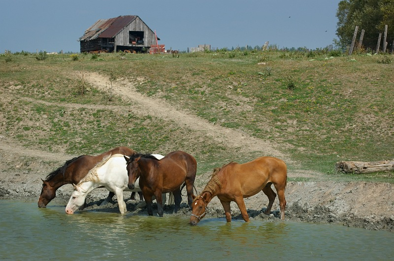 horses at waterhole.jpg