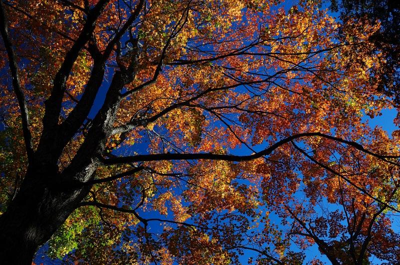 Glowing red maple tree.jpg