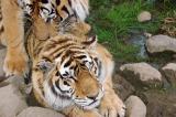 Mating tigers.jpg