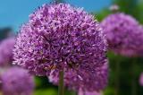 purple allium flower.jpg