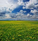 Dandelion field 2.jpg