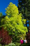 Golden black locust NS.jpg